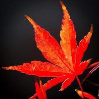 hell tanzendes japanisches Ahornblatt foto