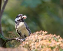 Kohlmeisenvogel, der Nahrung im Schnabel hält