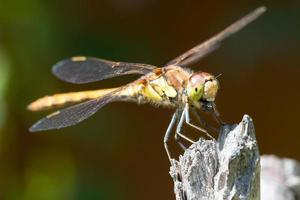 gemeine darter libelle