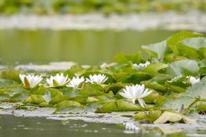 Europäische Wildwasserlilien foto