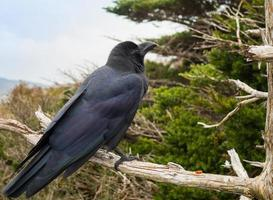 schwarze Krähe auf Ast