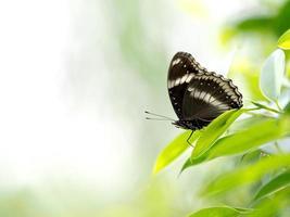 schwarzer Schmetterling auf grünem Blatt foto