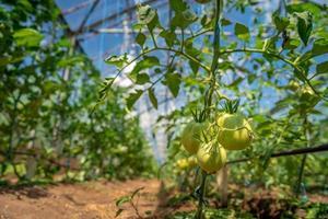Tomaten hängen in voller Sonne im Gewächshaus