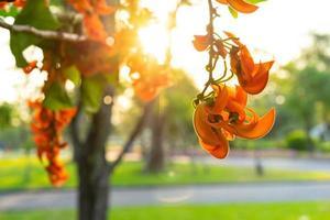 Butea Monosperma Blume von der Sonne hinterleuchtet foto
