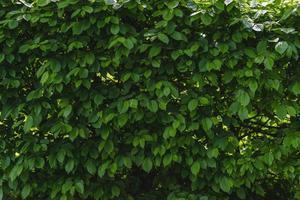 grüner Sichtschutzbusch