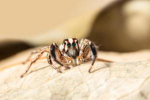 Makro braune springende Spinne