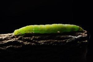 Makro grüner Wurm auf einem Ast