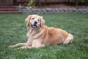 gehorsamer Golden Retriever, der draußen auf dem Gras sitzt foto
