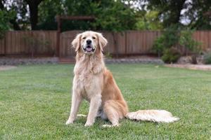 gehorsamer Golden Retriever, der draußen im Gras sitzt foto