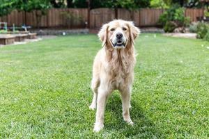 Golden Retriever, der draußen im Gras steht foto