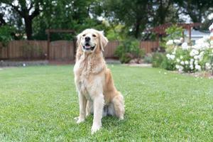 Golden Retriever, der im Gras draußen steht foto