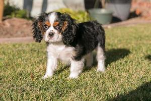Kavalier König Charles Spaniel Hund foto