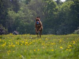 Rhodesian Ridgeback springt ins Gras foto