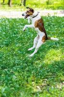 glattes Foxterrierspringen foto