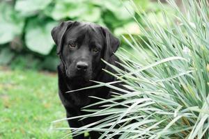 schwarzer Labrador Retriever in einem Hof foto