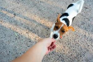 Jack Russell Terrier greift nach Leckerbissen foto