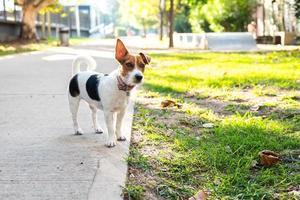 Jack Russell Terrier an der Leine auf dem Bürgersteig foto