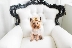 Yorkshire Terrier sitzt auf einem Stuhl foto