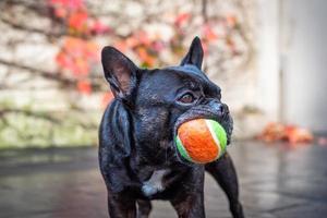 französische Bulldogge mit einem Ball foto