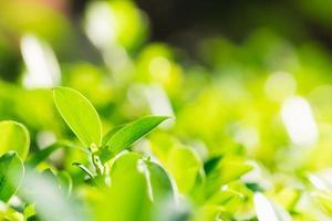 Nahaufnahme der makrogrünen Blätter foto