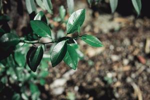 dunkelgrüne Blätter auf unscharfem Waldhintergrund foto