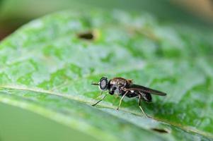 schwarze Fliege auf grünem Blatt foto
