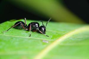 Makro schwarze Ameise auf Blatt foto