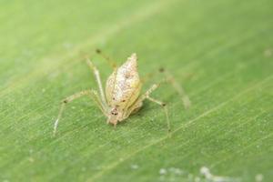 gelbe Spinne auf grünem Blatt