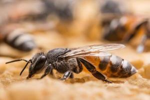Nahaufnahme einer Biene