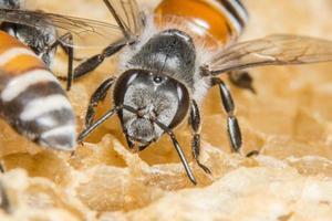 Wabenbiene im Bienenstock foto
