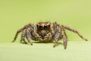 Spinnenwanderung auf grünem Hintergrund