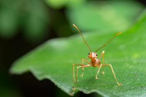 ein genauer Blick auf eine rote Ameise