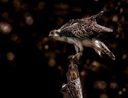 Falke thront auf Baum foto