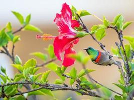 Südlicher Doppelhals-Sonnenvogel auf Hibiskusbaum foto
