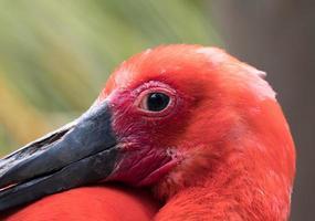 Nahaufnahme eines Flamingos