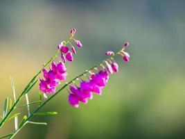 Nahaufnahme von rosa Blüten