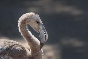 Nahaufnahme des weißen Flamingos foto