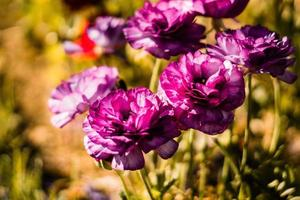 lila Blüten in der Sonne