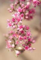 rosa Wolfsmilchblüten