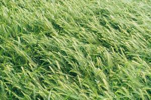 grünes Weizenfeld
