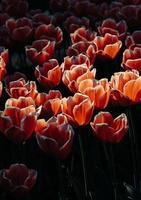 rote und weiße Blütenblätter foto