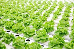 Salat wächst im Gewächshaus