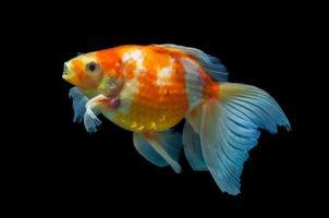 Goldfisch, der mit schwarzem Hintergrund schwimmt