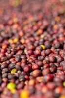 Arabica rote Kaffeebohnen foto