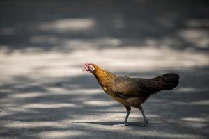 Henne überquert Straße foto