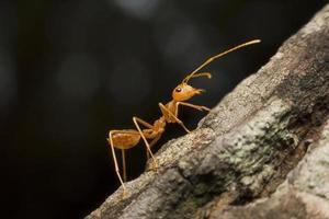 Makroansicht der roten Ameise in der Natur