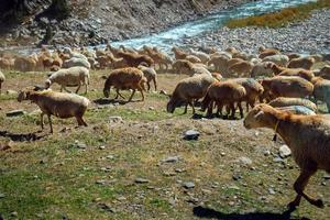 Herde lokaler Schafe, die in der Nähe des Flusses weiden