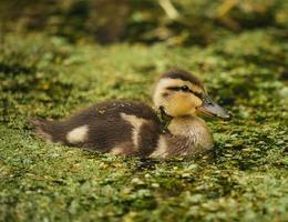 braune und schwarze Ente foto