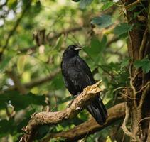 schwarzer Vogel auf Ast