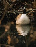weiße und schwarze Ente auf Wasser foto